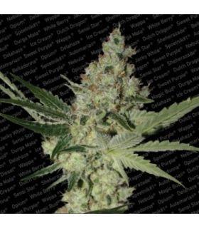 Σπόροι κάνναβης - Acid