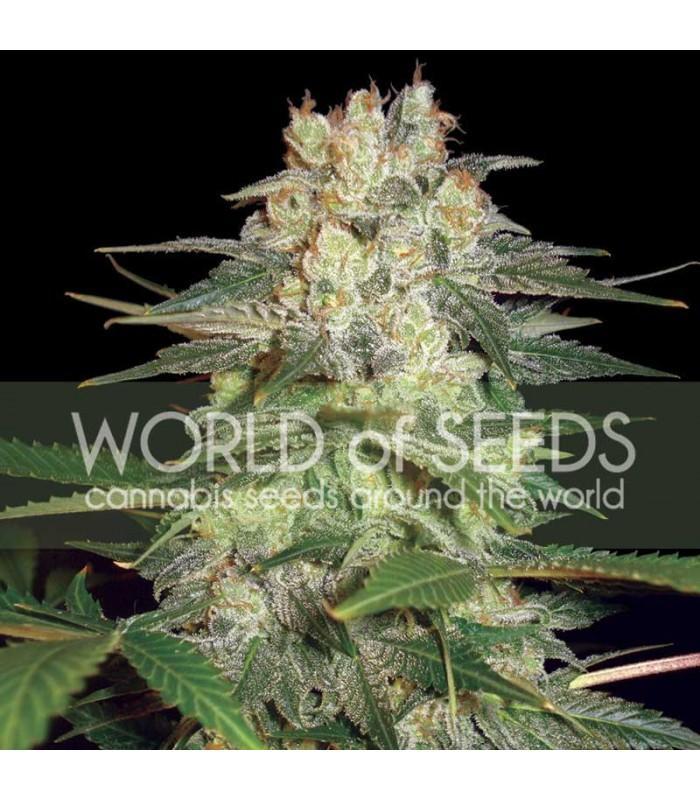 Afghan Kush Ryder (World Of Seeds)