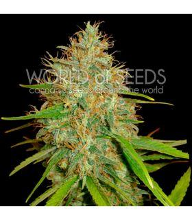 Σπόροι κάνναβης - Afghan Kush x Skunk (World Of Seeds)