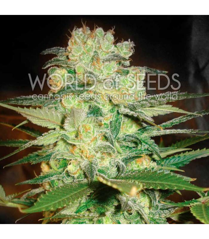 Afghan Kush x White Widow (World Of Seeds)