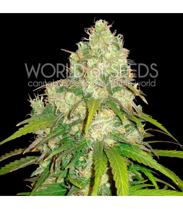 Afghan Kush x Yumbolt (World Of Seeds)