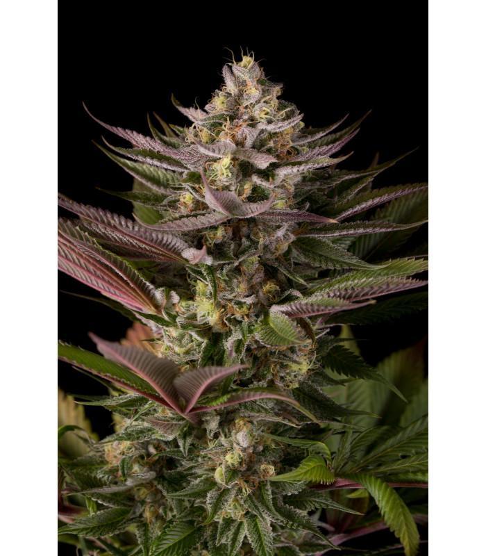 Blue Kush (Dinafem Seeds)