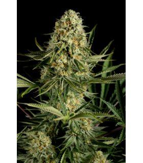 Critical Cheese (Dinafem Seeds)