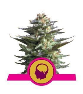 Σπόροι κάνναβης - Amnesia Haze (Royal Queen Seeds)