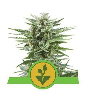 Σπόροι κάνναβης - Easy Bud (Royal Queen Seeds)