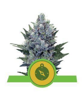 Σπόροι κάνναβης - Northern Light Automatic (Royal Queen Seeds)