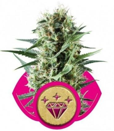 Special Kush (Royal Queen Seeds)