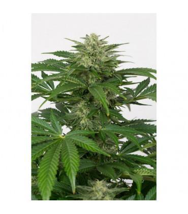 Haze CBD Autoflowering (Dinafem Seeds)