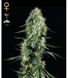 Super Silver Haze (Greenhouse Seeds)