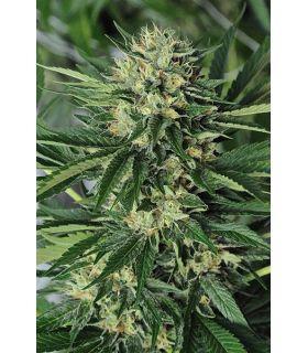 Σπόροι κάνναβης - Dr Greenthum's em-dog (Humboldt Seeds)