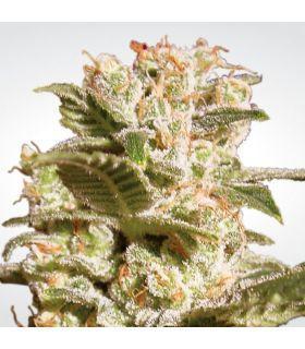 Σπόροι κάνναβης - Belladona (Paradise Seeds)