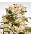 Belladona (Paradise Seeds)