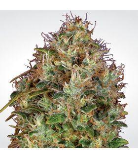 Σπόροι κάνναβης - Dutch Kush (Paradise Seeds)