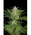 Critical Jack Autoflowering (Dinafem Seeds)