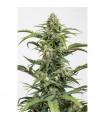 Dinamed CBD Autoflowering (Dinafem Seeds)