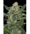 Haze 2.0 Autoflowering (Dinafem Seeds)