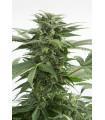Haze XXL Autoflowering (Dinafem Seeds)