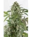 White Widow Autoflowering (Dinafem(
