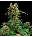California Hash Plant (Dinafem Seeds)