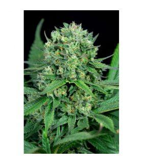 Σπόροι κάνναβης - Cheese CBD (Dinafem Seeds)