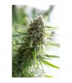 Critical Mass CBD (Dinafem Seeds)