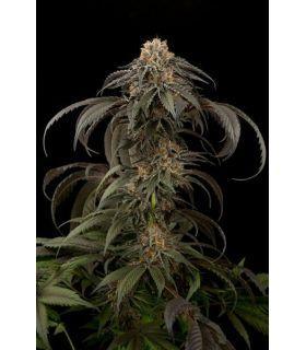 Purple Afghan Kush (Dinafem Seeds) *ΠΡΟΣΦΟΡΑ*