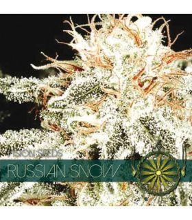 Σπόροι κάνναβης - Russian Snow (Vision Seeds)