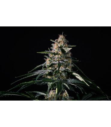 Nightingale (Medical Marijuana Genetics) *ΠΡΟΣΦΟΡΑ*