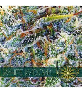 Σπόροι κάνναβης - White Widow (Vision Seeds)