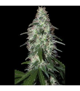 Σπόροι κάνναβης - Pulsar (Buddha Seeds)
