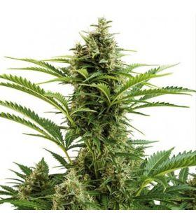 Σπόροι κάνναβης - Vesta Auto (Buddha Seeds)