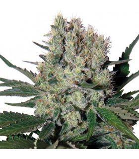Σπόροι κάνναβης - Syrup Auto (Buddha Seeds)
