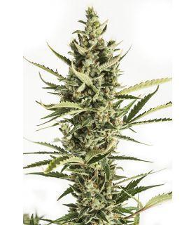 Σπόροι κάνναβης - Amnesia XXL Autoflowering (Dinafem Seeds) *ΠΡΟΣΦΟΡΑ*