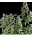 Northern Lights (Pyramid Seeds)