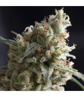 Σπόροι κάνναβης - Lennon (Pyramid Seeds)