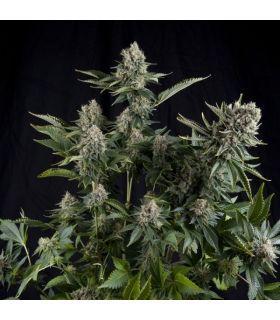 Σπόροι κάνναβης - White Widow (Pyramid Seeds)