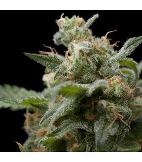 Σπόροι κάνναβης - Super Hash (Pyramid Seeds)