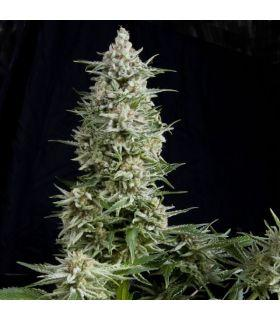 Σπόροι κάνναβης - Amnesia Gold (Pyramid Seeds)