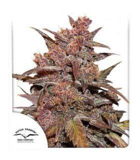Σπόροι κάνναβης - CBD Auto Blackberry Kush (Dutch Passion)
