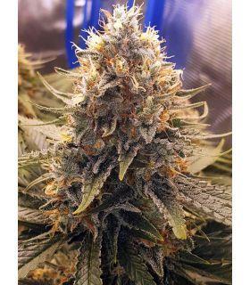 Σπόροι κάνναβης - Purple Haze Τριμηνίτικο (σποράδικο)