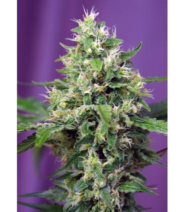 Sweet Amnesia Haze XL Auto (Sweet Seeds)