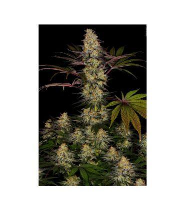 El Dorado OG - Cannabis Seeds Paradise