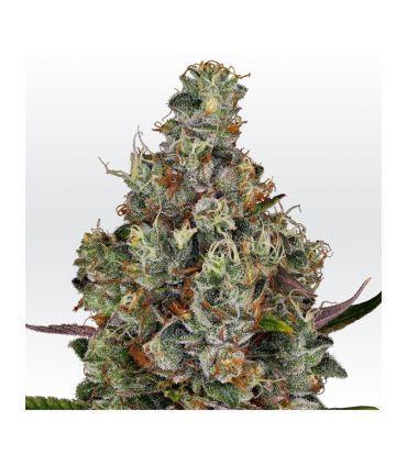 Rainbow Road Paradise Cannabis Seeds