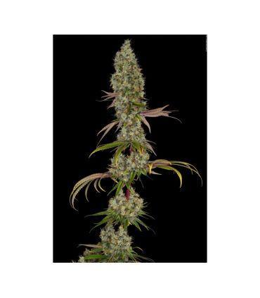 Rainbow Road cannabis seeds