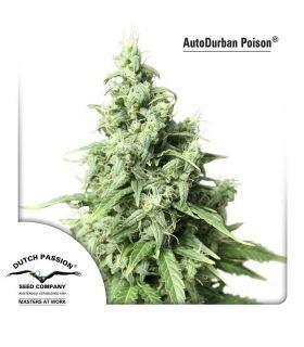 Σπόροι κάνναβης - AutoDurban Poison