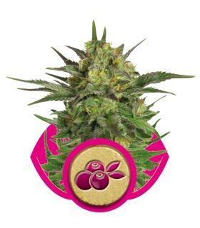 Σπόροι κάνναβης - Haze Berry (RQS)