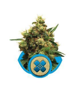 Σπόροι κάνναβης - Painkiller XL (RQS)
