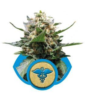Σπόροι κάνναβης - Royal Medic (RQS)
