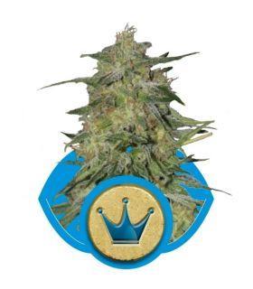 Σπόροι κάνναβης - Royal Highness (RQS)