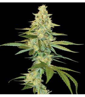 Σπόροι κάνναβης - Cannalope Kush (DNA Genetics)
